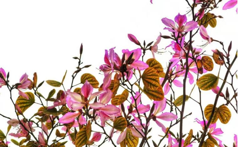 梧州的紫荆花开了